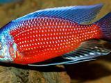 Копадихромис Каданго